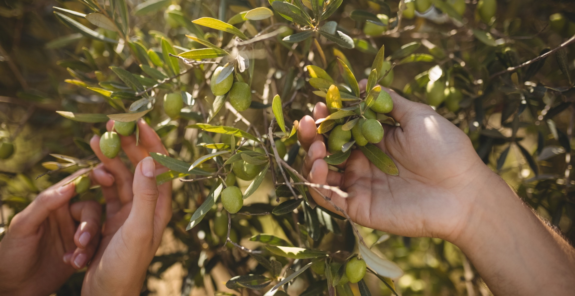 hands-of-couple-holding-olive-tree-at-farm-7GQ42FE